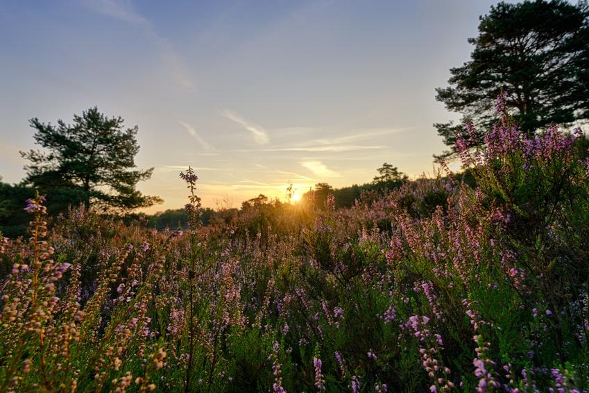 Heidelandschaft zum Sonnenaufgang - Landschaften eignen sich für die Fotografie zur Goldenen Stunde besonders